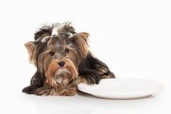Cão Cachorrinho de Yorkie no fundo branco do inclinação Imagens de Stock