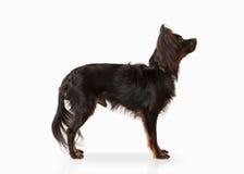 Cão Cachorrinho do terrier de brinquedo do russo no fundo branco Fotos de Stock