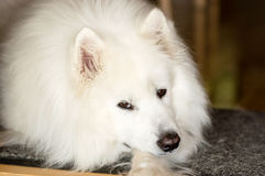 Cão calmo do Samoyed Imagem de Stock Royalty Free