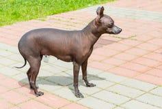 Cão calvo de Xoloitzcuintli Imagens de Stock
