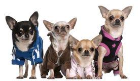 Cão calvo mexicano e chihuahuas Imagem de Stock