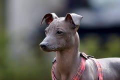 Cão calvo peruano imagens de stock royalty free