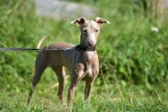 Cão calvo peruano do cachorrinho imagem de stock