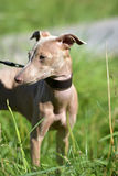 Cão calvo peruano do cachorrinho fotografia de stock royalty free
