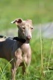 Cão calvo peruano do cachorrinho foto de stock royalty free