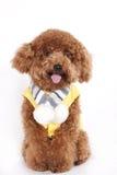 Cão - caniche Imagens de Stock Royalty Free