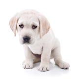 Cão cansado Imagens de Stock Royalty Free