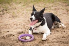 Cão cansado preto e branco bonito da mentira com língua e brinquedo imagem de stock