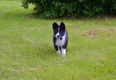 Cão careliano do urso Fotografia de Stock Royalty Free