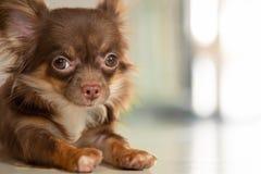 Cão castanho chocolate da chihuahua da cor que encontra-se no h interno à terra imagem de stock royalty free