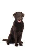 Cão castanho chocolate fêmea de labrador retriever que senta-se com seu m Imagem de Stock