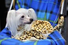 Cão chinês foto de stock