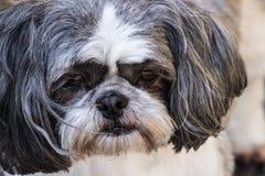 Cão cinzento e branco triste Fotografia de Stock Royalty Free