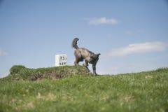 Cão cinzento pequeno Fotografia de Stock