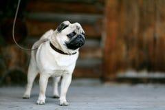 Cão cinzento pequeno engraçado do pug imagem de stock