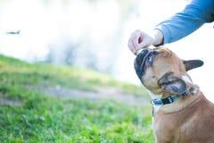 Cão Close-up do retrato do buldogue francês A mão do ` s do proprietário dá ao cão um deleite Espaço para o texto Fotografia de Stock Royalty Free