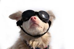 Cão com óculos de proteção fotos de stock royalty free