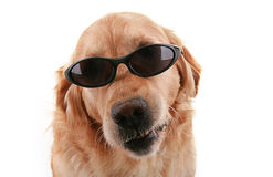 Cão com óculos de sol Imagens de Stock