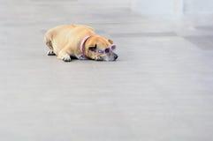 Cão com óculos de sol Fotografia de Stock
