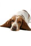 Cão com as orelhas grandes em sua barriga Fotos de Stock