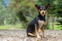 Cão com assento grande das orelhas fotografia de stock
