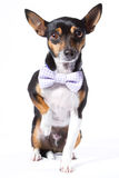 Cão com bowtie Imagens de Stock