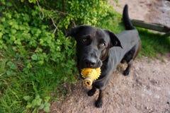 Cão com brinquedo Imagem de Stock Royalty Free