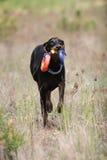 Cão com brinquedo Imagem de Stock
