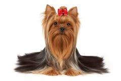 Cão com cabelo vermelho brilhante no focinho foto de stock royalty free
