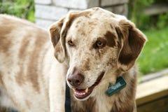 Cão com colar Imagens de Stock