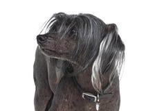 Cão com crista chinês Imagens de Stock