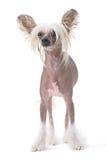 Cão com crista chinês Imagens de Stock Royalty Free