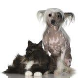 Cão com crista chinês - calvo e coon de maine Fotografia de Stock