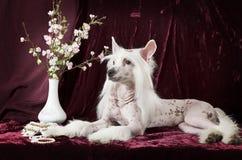 Cão com crista chinês calvo na frente do fundo roxo Foto de Stock