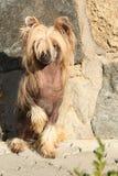 Cão com crista chinês fantástico na frente da parede imagem de stock royalty free
