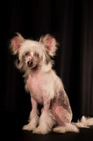 Cão com crista chinês no fundo preto fotografia de stock