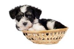 Cão com crista chinês - Pó-sopra o filhote de cachorro Foto de Stock Royalty Free