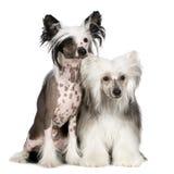 Cão com crista chinês - Powderpuff Foto de Stock