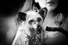Cão com crista chinês que anda fora fotos de stock royalty free