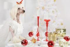 Cão com crista chinês que senta-se na tabela do feriado Foto de Stock