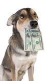 Cão com dinheiro Fotos de Stock Royalty Free