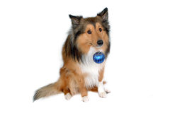 Cão com a esfera azul do Natal Fotos de Stock Royalty Free