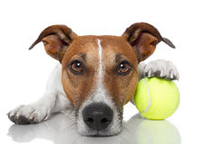 Cão com esfera de tênis Foto de Stock