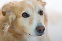 Cão com expressão triste Imagens de Stock Royalty Free