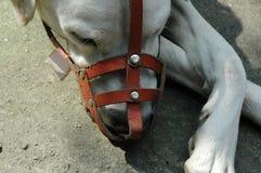 Cão com focinho de couro Fotografia de Stock