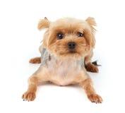 Cão com grandes olhos Imagens de Stock Royalty Free