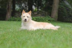 Cão com língua Imagens de Stock Royalty Free