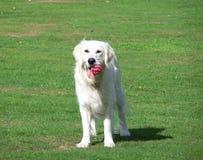 Cão com mensagem do xmas Fotografia de Stock
