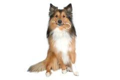 Cão com o bastão de doces 2 do Natal Fotografia de Stock Royalty Free