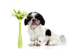 Cão com o lírio do vale isolado no fundo branco Mola Fotos de Stock